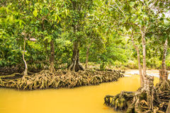 Walderhaltung und -tourist Tha Pom Klong Song Nam Mangrove Lizenzfreie Stockfotografie