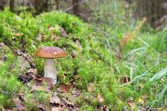 Waldessbarer Pilz mit brauner Kappe im Gras Lizenzfreie Stockbilder