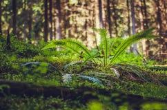 Waldfarn im Licht des frühen Morgens Stockfoto