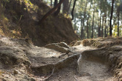 Waldfußwegenwurzeln, die Trekking wandern lizenzfreies stockbild