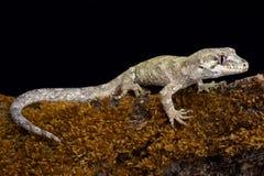 Waldgecko Mokopirirakau-granulatus Stockfoto