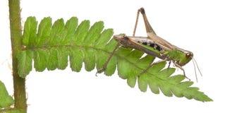 Waldheuschrecke, Omocestus rufipes, auf Farn lizenzfreies stockfoto