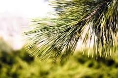 Waldhintergrund mit Nadelbaum lizenzfreies stockfoto