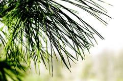 Waldhintergrund mit Nadelbaum stockfotografie
