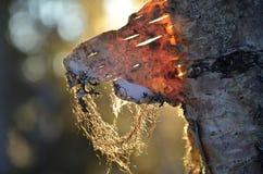 Waldjuwel Stockfoto