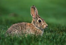 Waldkaninchen-Kaninchen Stockfotografie