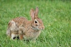 Waldkaninchen-Kaninchen Stockbilder
