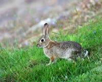 Waldkaninchen-Kaninchen Stockbild
