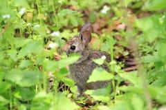 Waldkaninchen-Kaninchen Lizenzfreies Stockbild