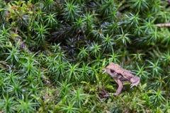 Waldkröte, die auf Moos sitzt stockfotografie