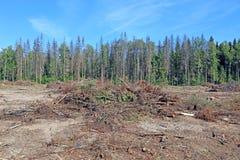 Waldlichtung nach dem Holzschlag von Bäumen Stockfotografie