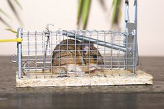 Waldmaus / Wood Mouse (Apodemus Sylvaticus) Royalty Free Stock Image