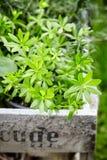 Waldmeister or woodruff plant, Galium odoratum stock image