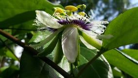 Waldodam blommor i Sri Lanka royaltyfri bild