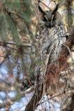 Waldohreule, die auf den Niederlassungen der Fichte sitzt Lizenzfreie Stockbilder