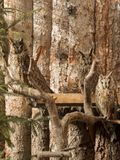 Waldohreulen sitzen auf Niederlassungen Lizenzfreie Stockfotos