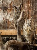 Waldohreulen sitzen auf Niederlassungen Stockfotografie