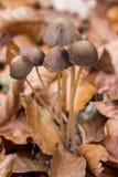 Waldpilze mit braunen Blättern stockfotos