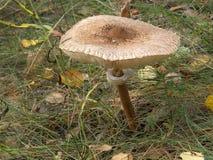 Waldpilzregenschirm Stockbild