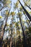 Waldplantage von dünnen hohen Bäumen stockbilder