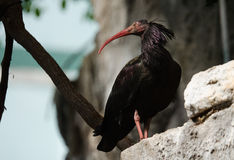 Waldrapp Ibis Stock Photography