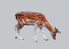 Waldrotwild lokalisiert auf grauem Hintergrund Lizenzfreies Stockfoto