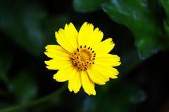 Waldsonnenblume Lizenzfreie Stockbilder