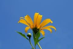 Waldsonnenblume oder -ringelblume Lizenzfreie Stockfotos