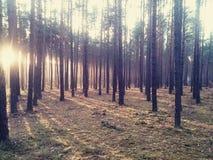 Waldsonnenschein Stockbilder