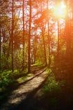 Waldsonnenuntergang färbte Landschaft - Bäume rudern und der Weg, der durch helles Sonnenlicht beleuchtet wird stockbilder
