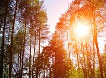 Waldsonnenunterganglandschaft - Oberteile Baumaste mit dem Sonnenlicht, das durch sie bricht Stockfoto