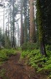 Waldspur im Mammutbaum-Nationalpark Stockbild