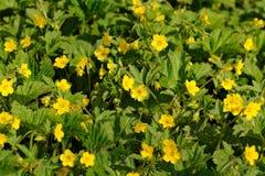 Waldsteinia Geoides Royalty Free Stock Photo