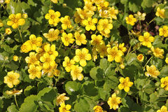 Waldsteinia ternata Royalty Free Stock Image