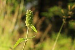 Waldstrohblume, Details lizenzfreie stockfotos