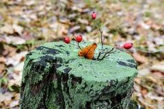 Waldstumpf bedeckt mit Moos mit einem Weißdornzweig stockbild