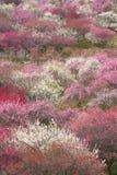 Waldung der japanischen Pflaume in voller Blüte Lizenzfreies Stockfoto