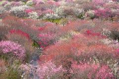 Waldung der japanischen Pflaume in voller Blüte Lizenzfreie Stockfotografie