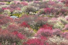 Waldung der japanischen Pflaume in voller Blüte Stockbild
