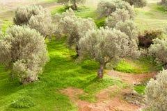 Waldung der Olivenbäume stockbild