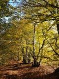 Waldweg-Herbstsonnenschein Stockfoto