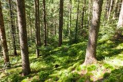 Waldwildnis-Kieferhintergrund, helle Herbstnaturlandschaft stockfoto