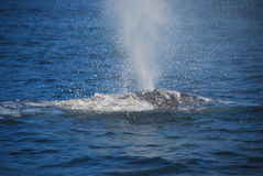 Wale cinzento Imagem de Stock