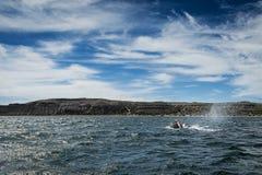 Wale direito na península de Valdes Foto de Stock Royalty Free