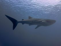 Wale shark. Maldives Wale shark scuba diving 2015 by walter schmit royalty free stock images