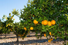 Walencja pomarańczowi drzewa Fotografia Stock