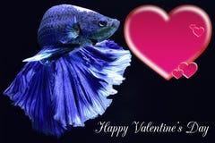 Walentynka dnia karta z sercem na betta ryby tle obraz royalty free