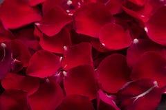 Walentynka dzień: czerwonych róż płatek Zdjęcie Stock