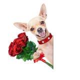 Walentynka pies Fotografia Stock