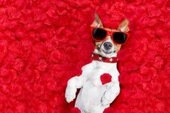 Walentynki są prześladowanym w miłości Obrazy Stock